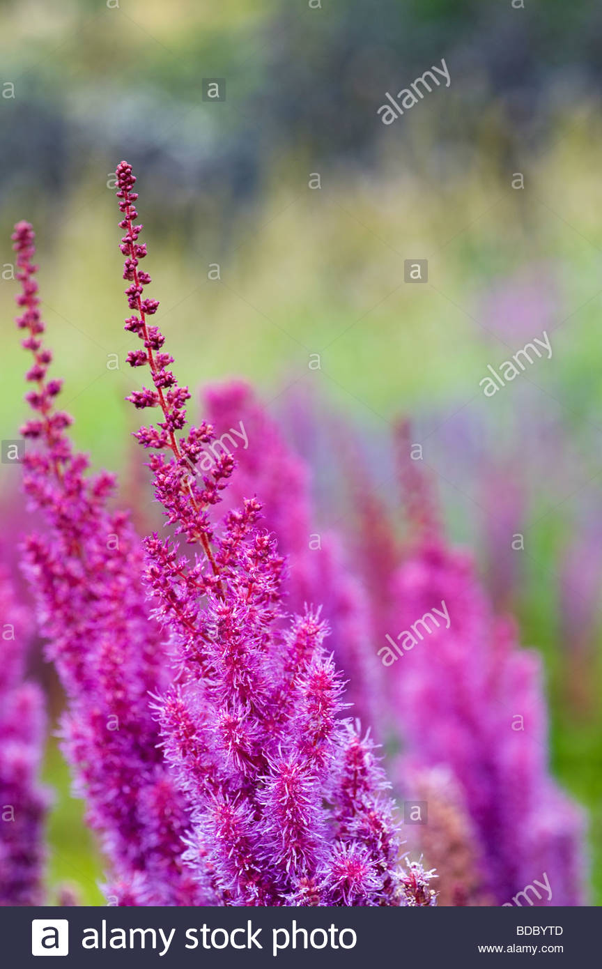 Astilbe chinensis taquetii purpurlanze flower - Stock Image