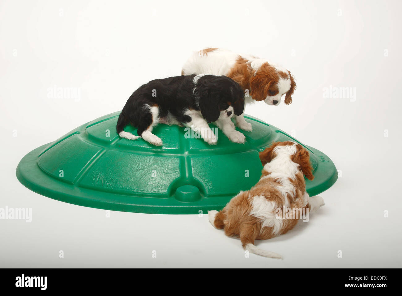 Cavalier King Charles Spaniel puppies blenheim and tricolour 9 weeks -  Stock Image 4745258b7c