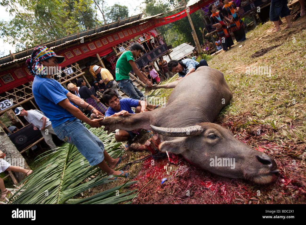 Indonesia Sulawesi Tana Toraja Bebo village Torajan funeral skinning ritually slaughtered buffalo - Stock Image