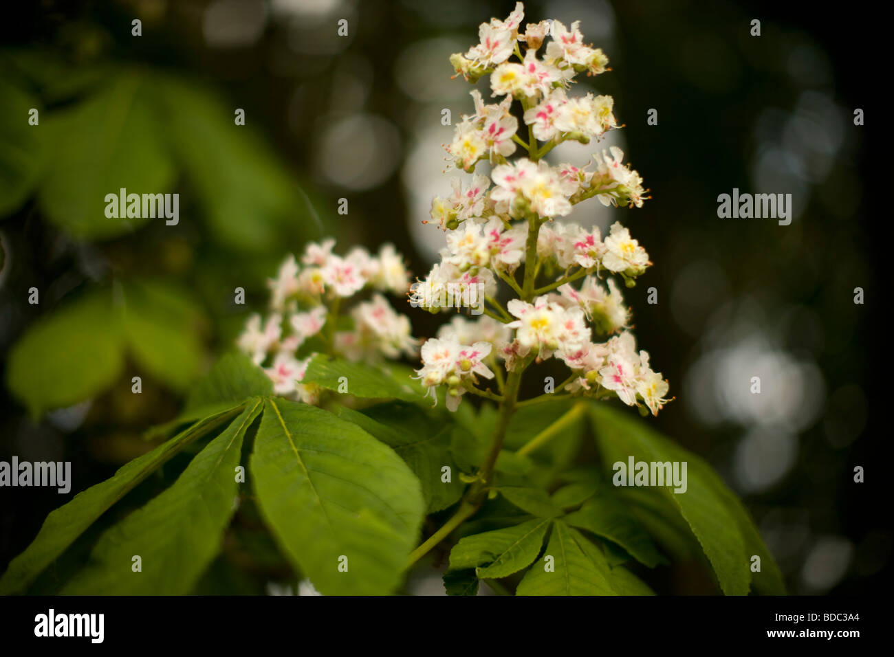 Horse-Chestnut Flowers, Aesculus hippocastanum - Stock Image