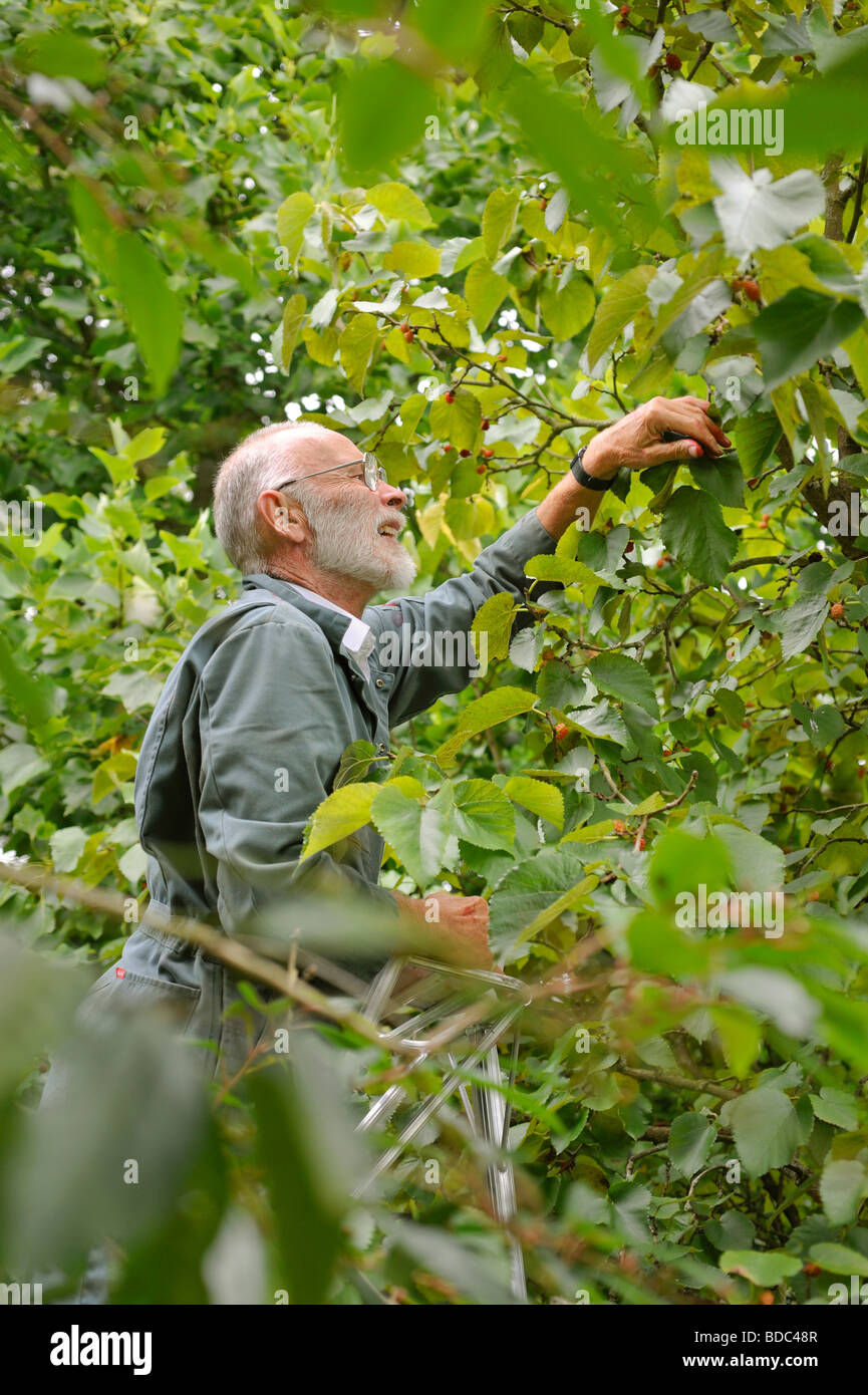 A man up a ladder harvesting mulberries in late summer, UK. Picture Jim Holden. - Stock Image