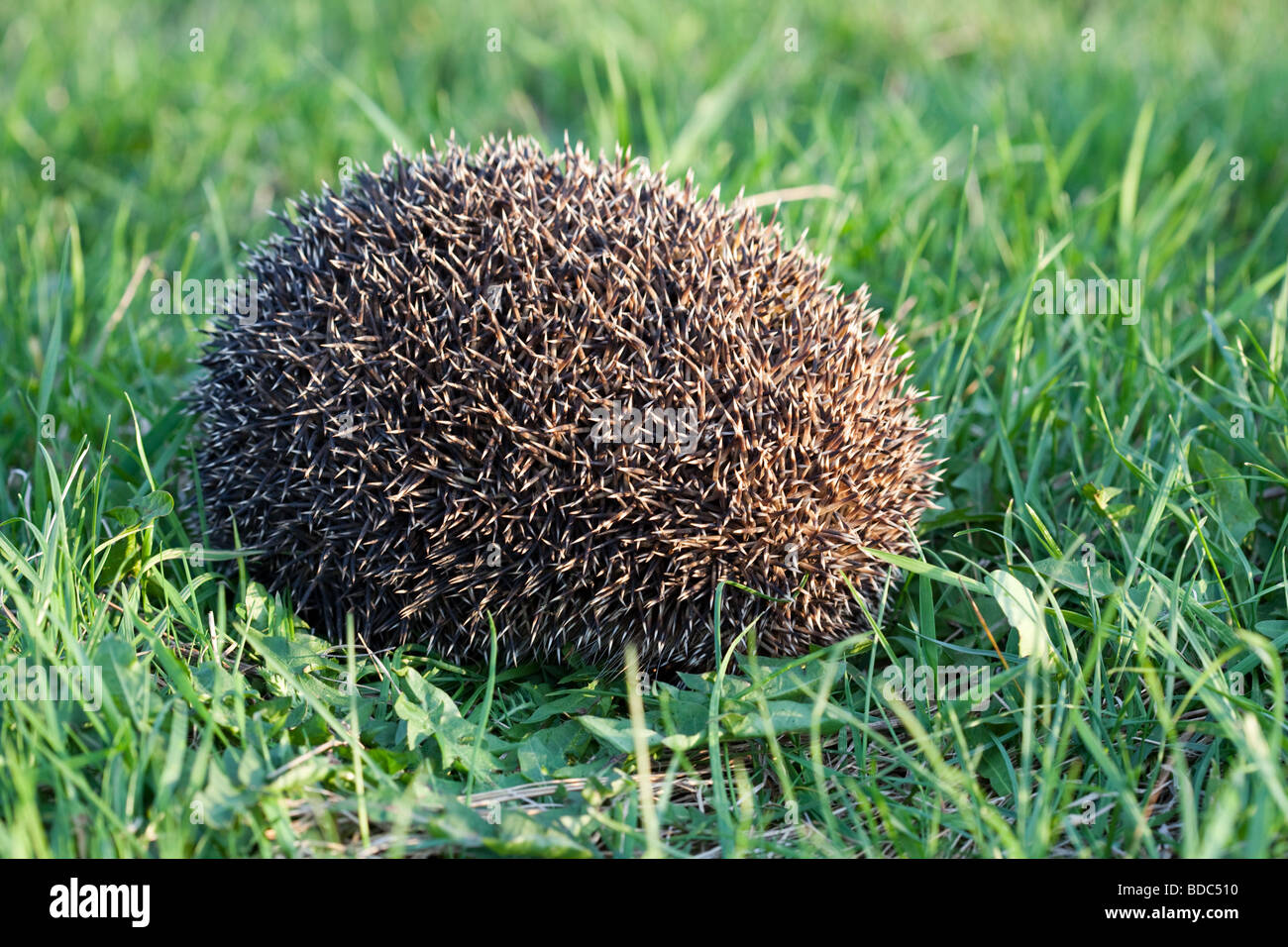 Hedgehog is nocturnal, and if alarmed will roll itself into a ball - Stock Image