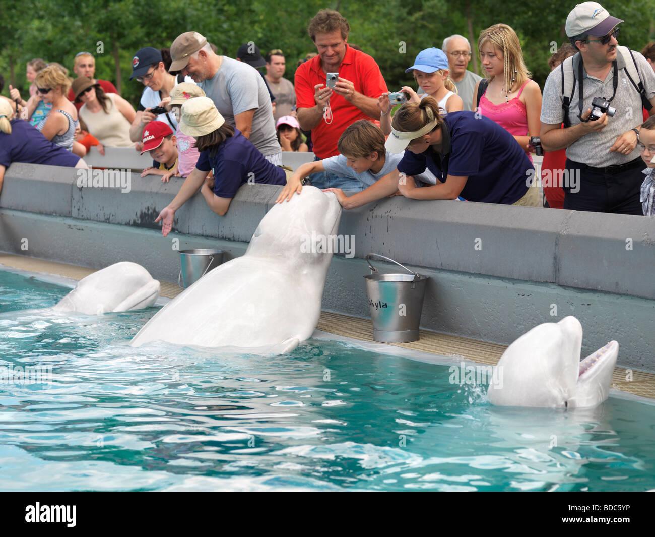 People feeding beluga whales at Marineland Niagara Falls Canada - Stock Image