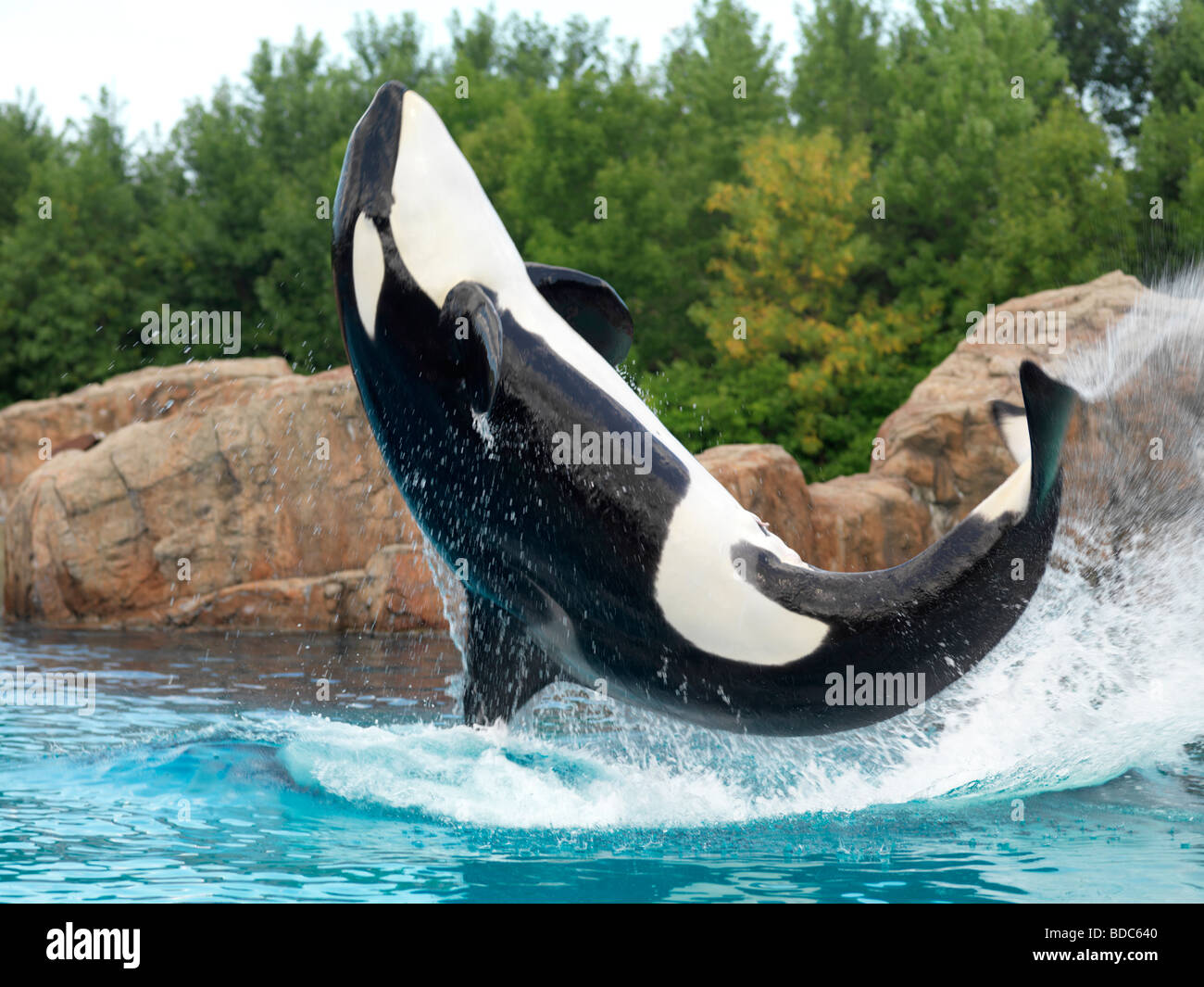 Killer Whale jumping out of the water Marineland Niagara Falls Stock Photo