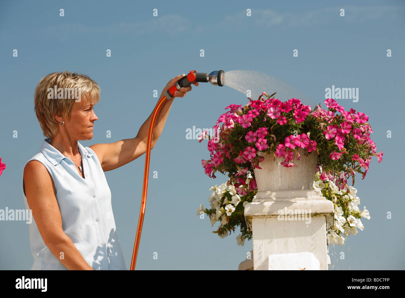 Woman watering petunia Petunia hybride garden hose - Stock Image