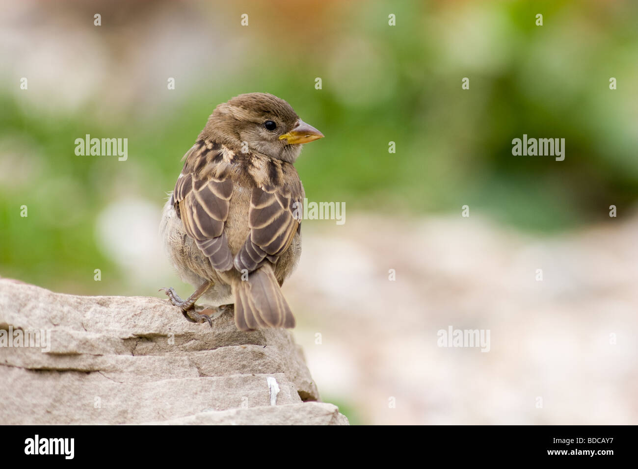 The pretty young sparrow sits on a stone - Stock Image