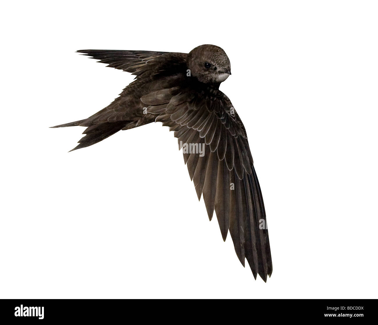 Young baby bird of the swift isolated on a white background - Stock Image