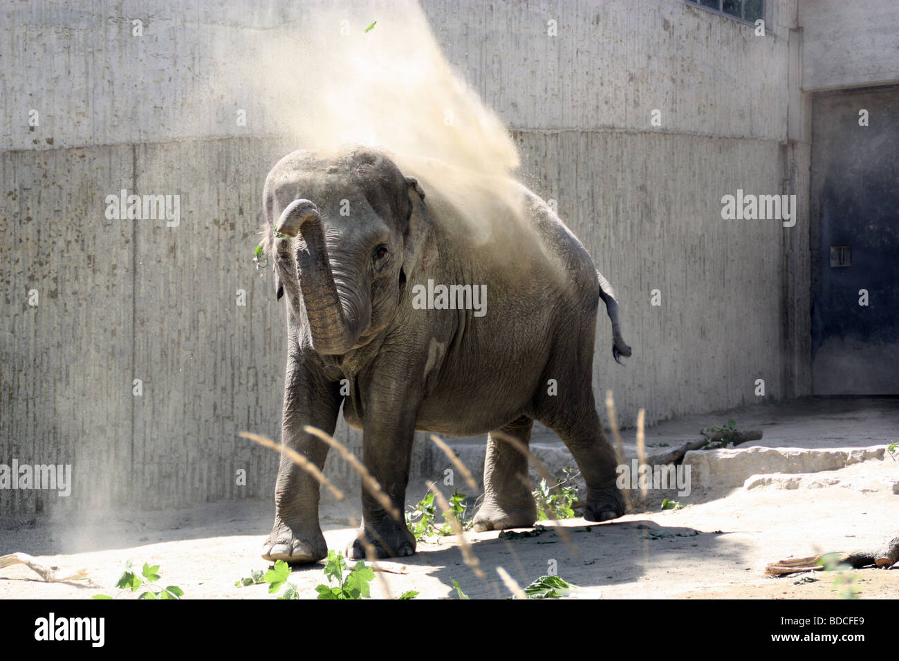 Elephant treating itself with a shower of dust. - Stock Image