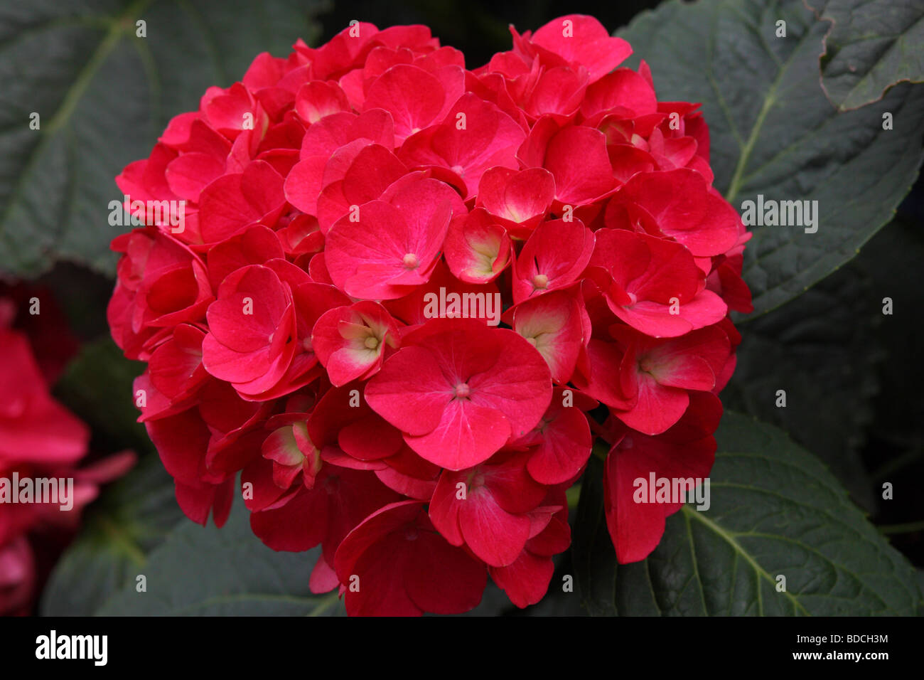 Red Hydrangea High Resolution Stock Photography And Images Alamy