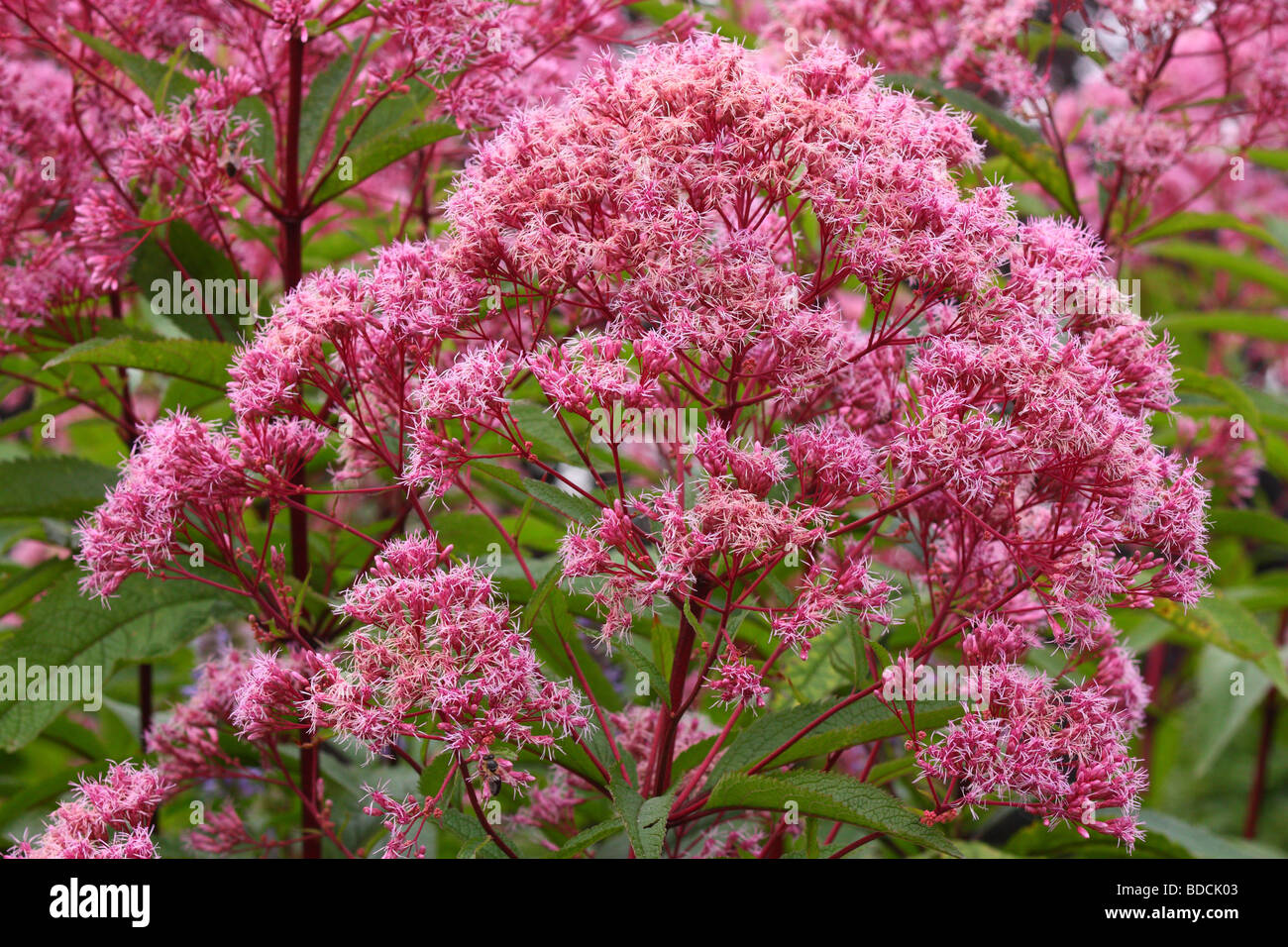 Joe pye weed flowers blooming Eupatorium purpureum - Stock Image