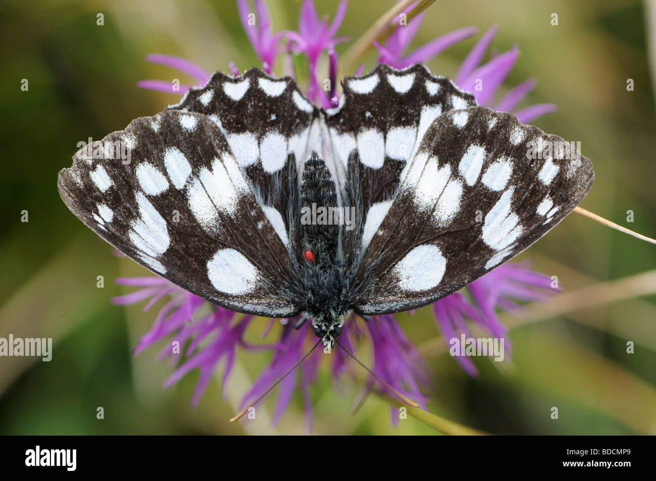 Marbled White (Melanargia galathea) feeding on knapweed with parasitic mite (feeding of its blood) - Stock Image