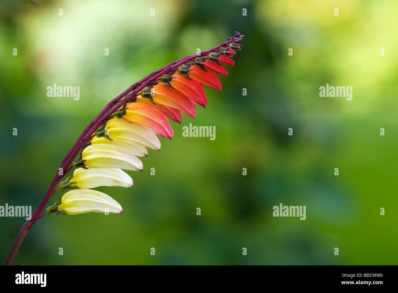 Ipomoea lobata. Firecracker vine in flower. UK - Stock Image