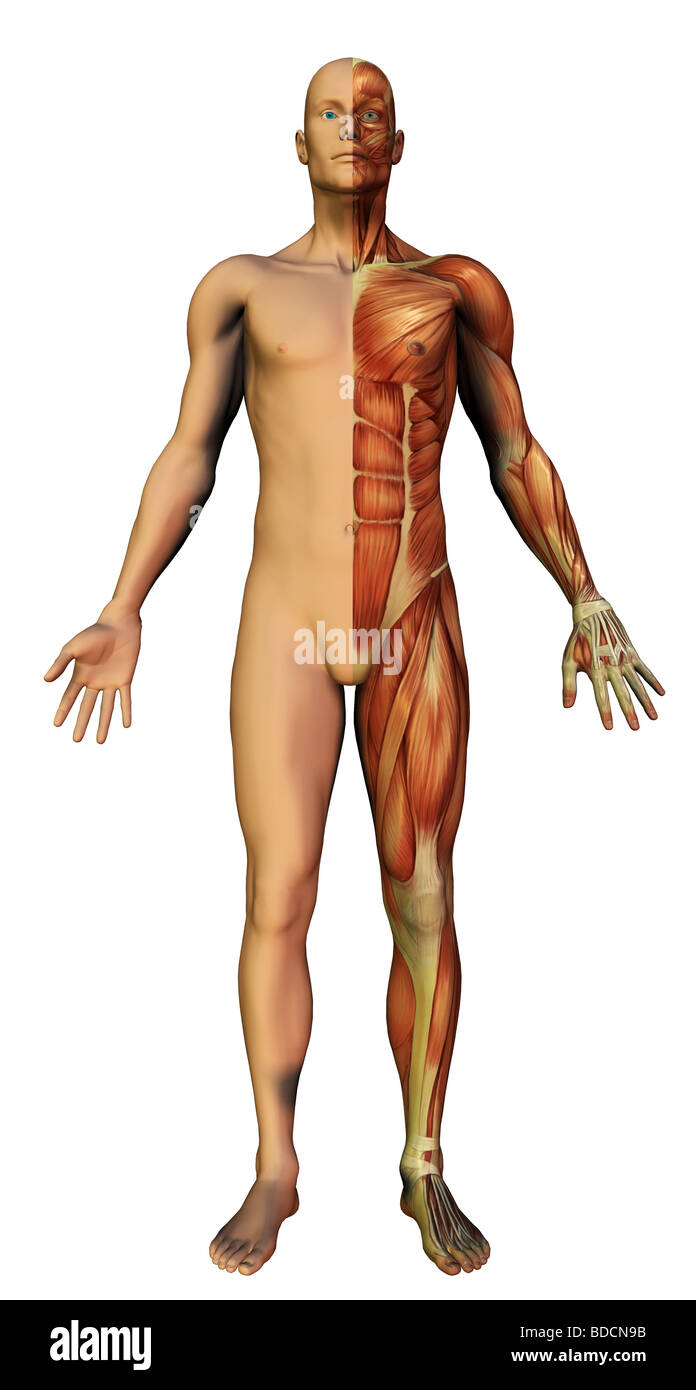 human anatomy - Stock Image
