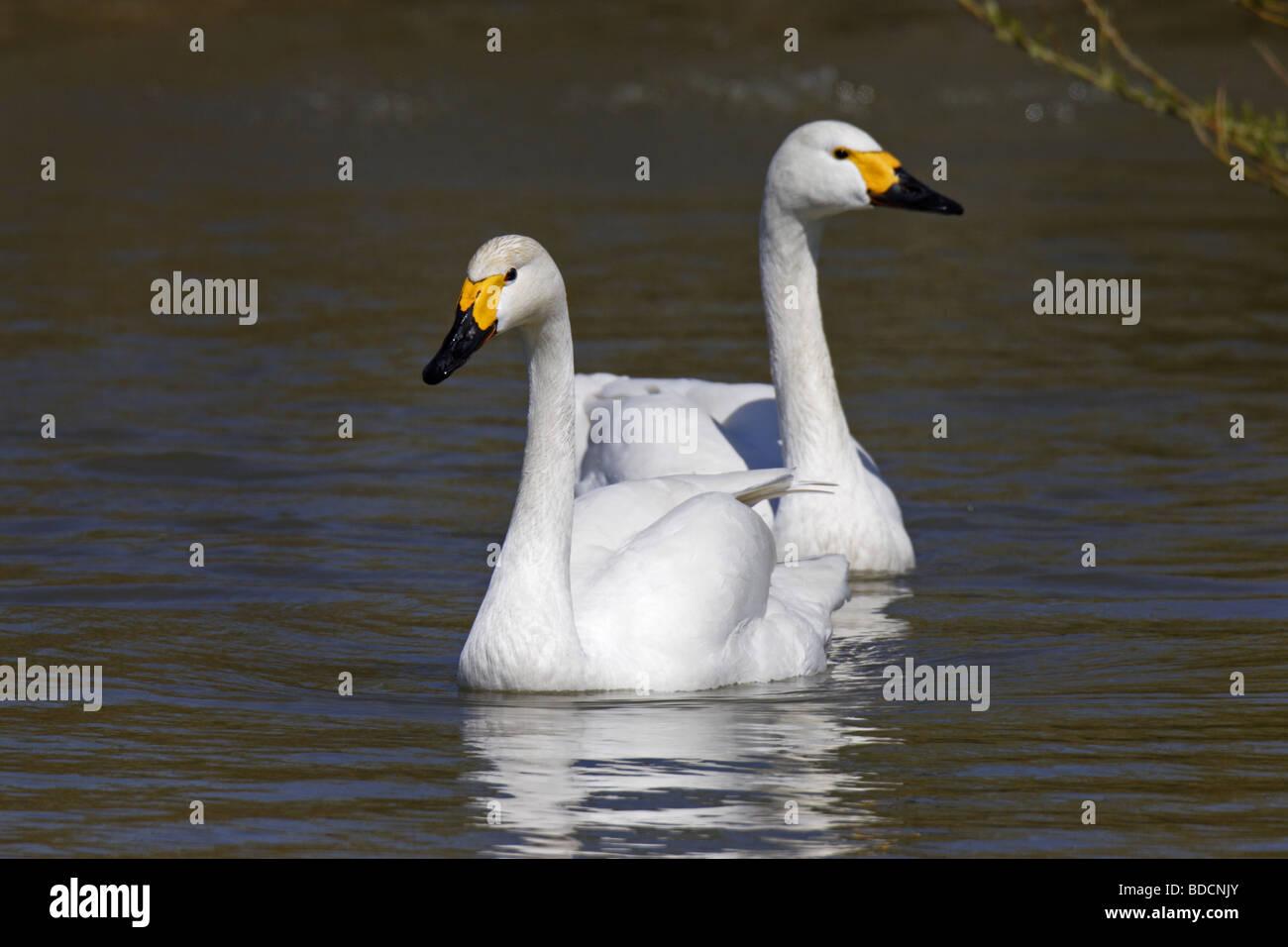 Singschwan (Cygnus cygnus) European Whooper swan Stock Photo