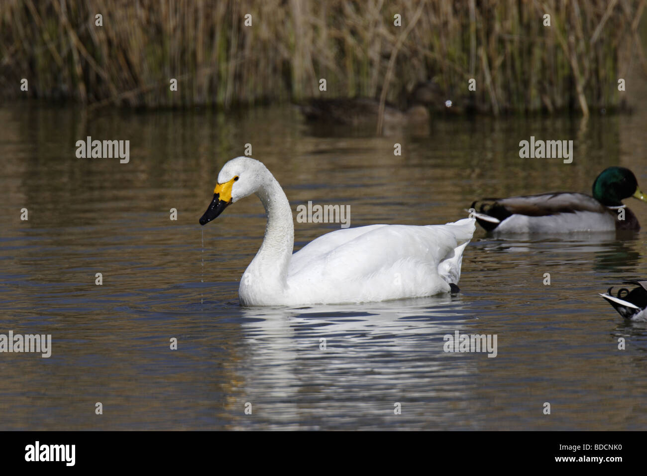 Singschwan (Cygnus cygnus) European Whooper swan Stock Photo