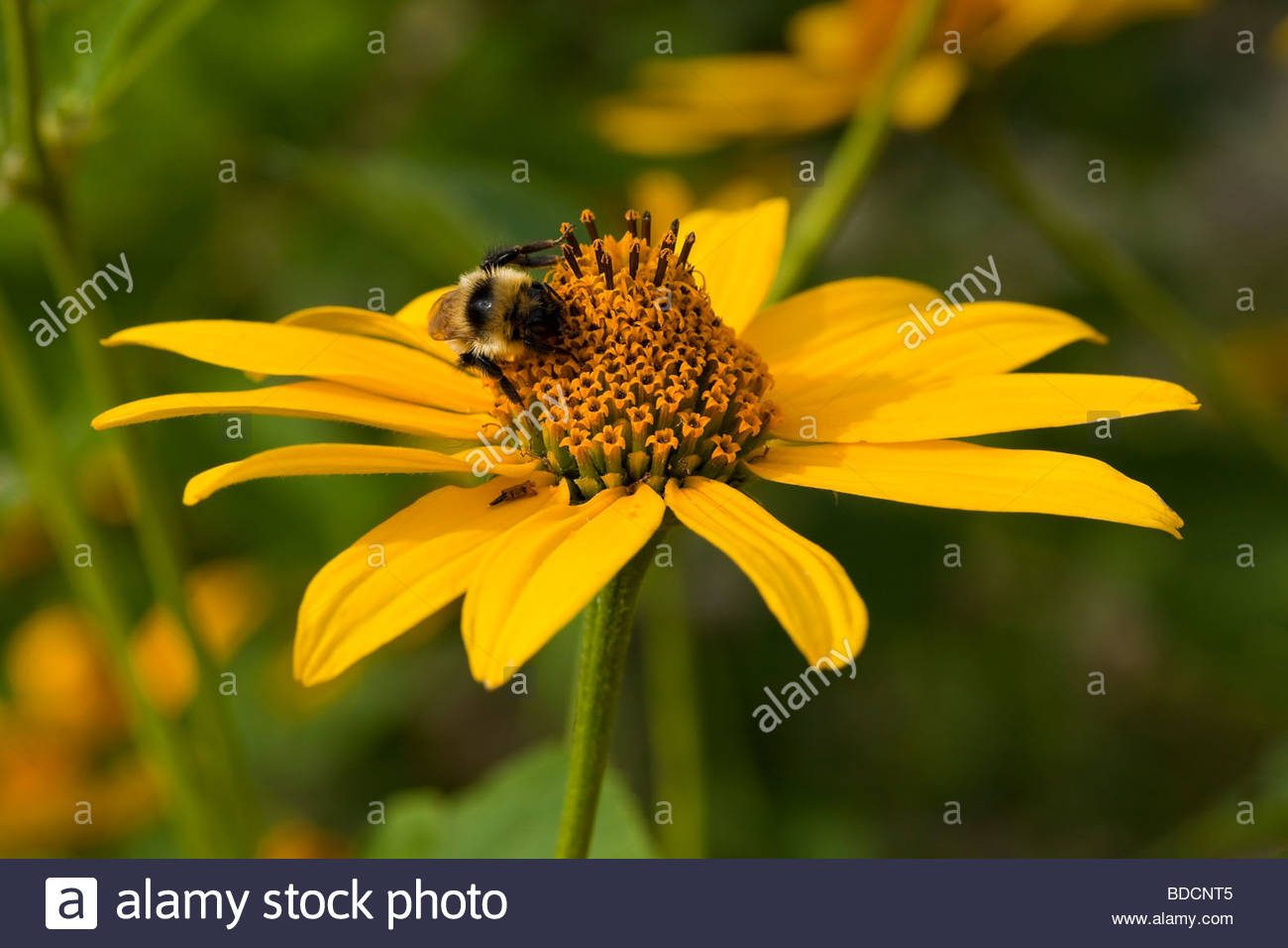 Bee on Smooth Ox-Eye growing in Rouge Park an urban wilderness in Toronto Ontario Canada - Stock Image