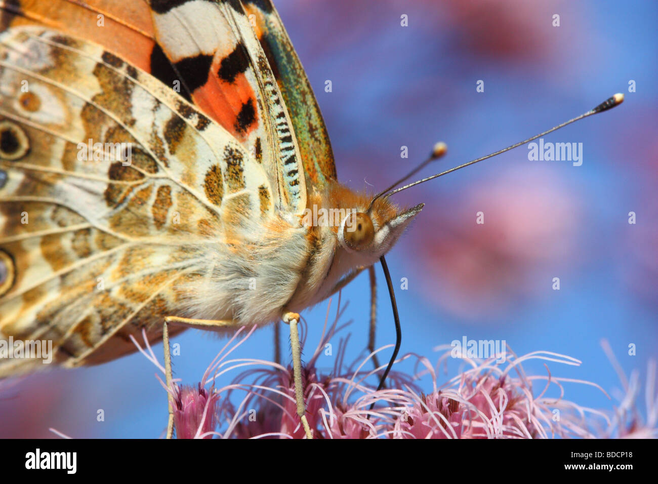 Tortoiseshell Butterfly close up Aglais urticae - Stock Image