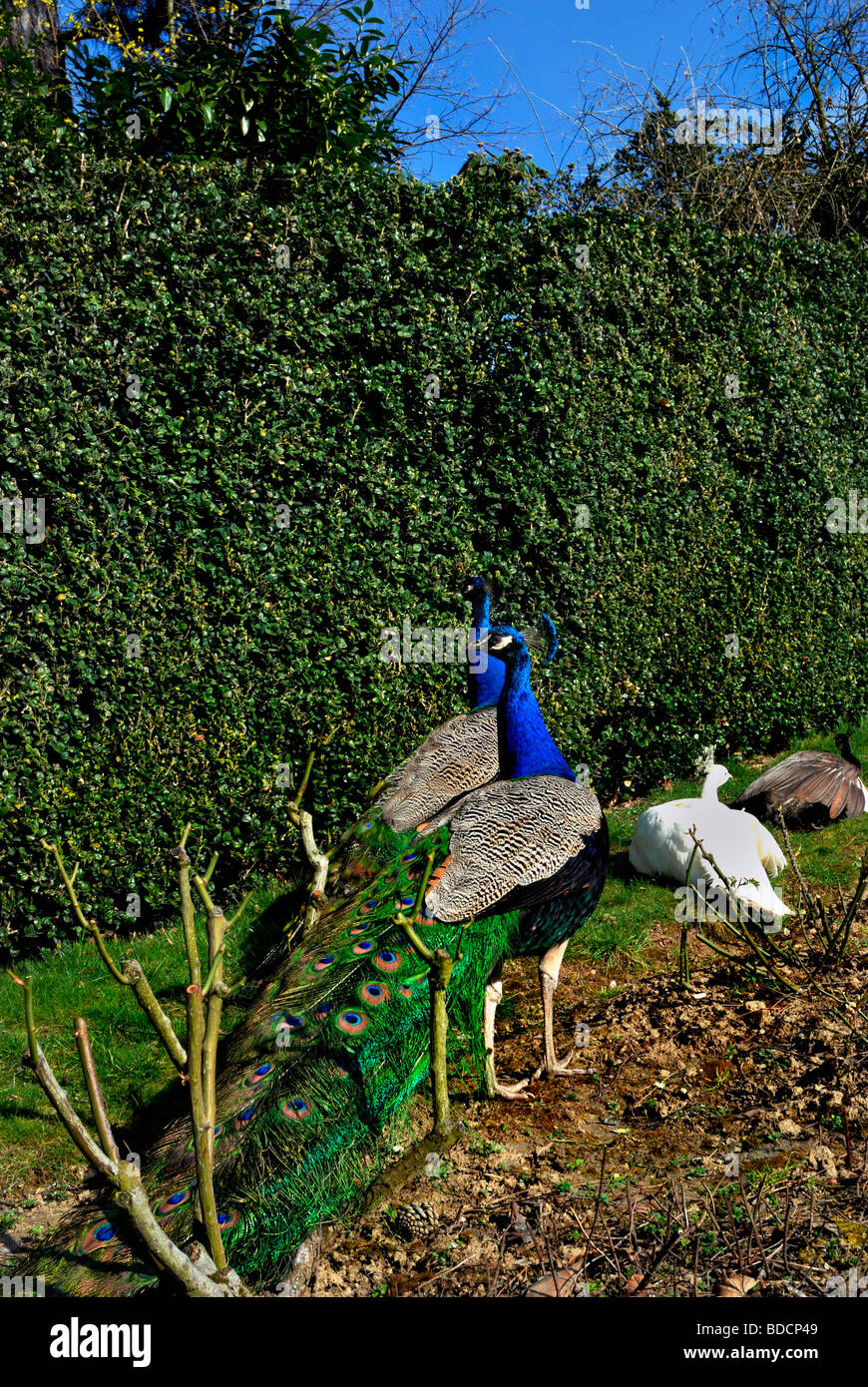 Paris France, Outside in 'Bagatelle Garden' Group of Peacocks, promenading, Early Spring Day - Stock Image