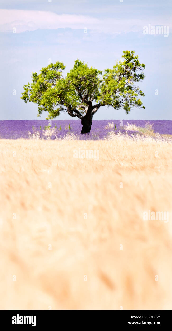 Tree in a wheat and lavender field, Valensole plateau, Provence, France - Stock Image