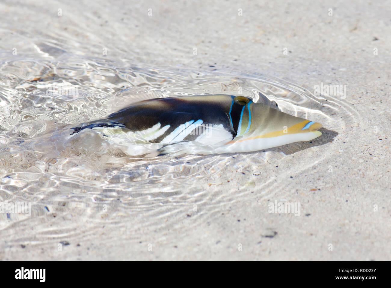 A fish swimming in shallow water on a beach on Rarotonga in The Cook Islands - Stock Image