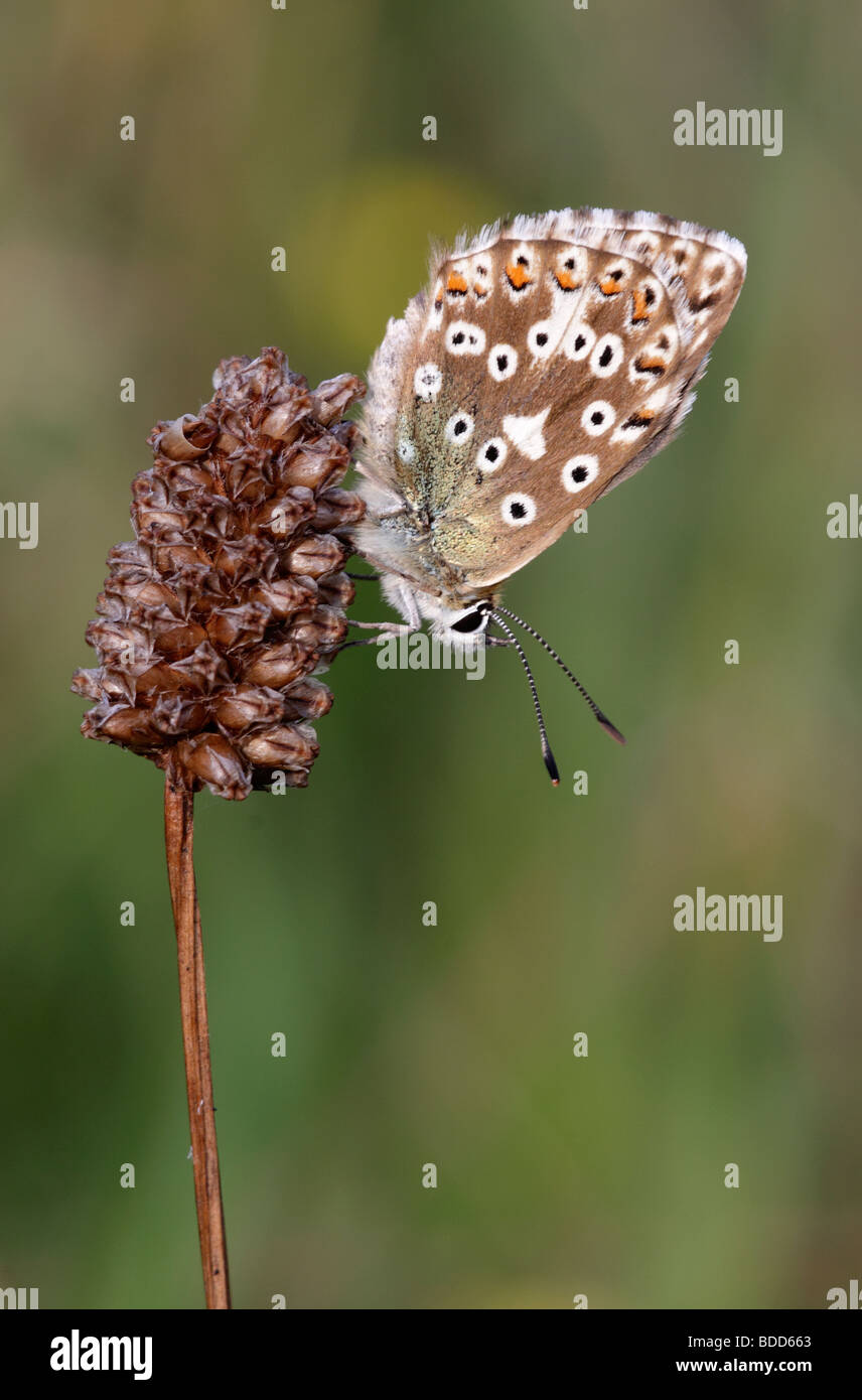 Female Chalkhill Blue Butterfly, Lysandra coridon, Hampshire, England, UK - Stock Image
