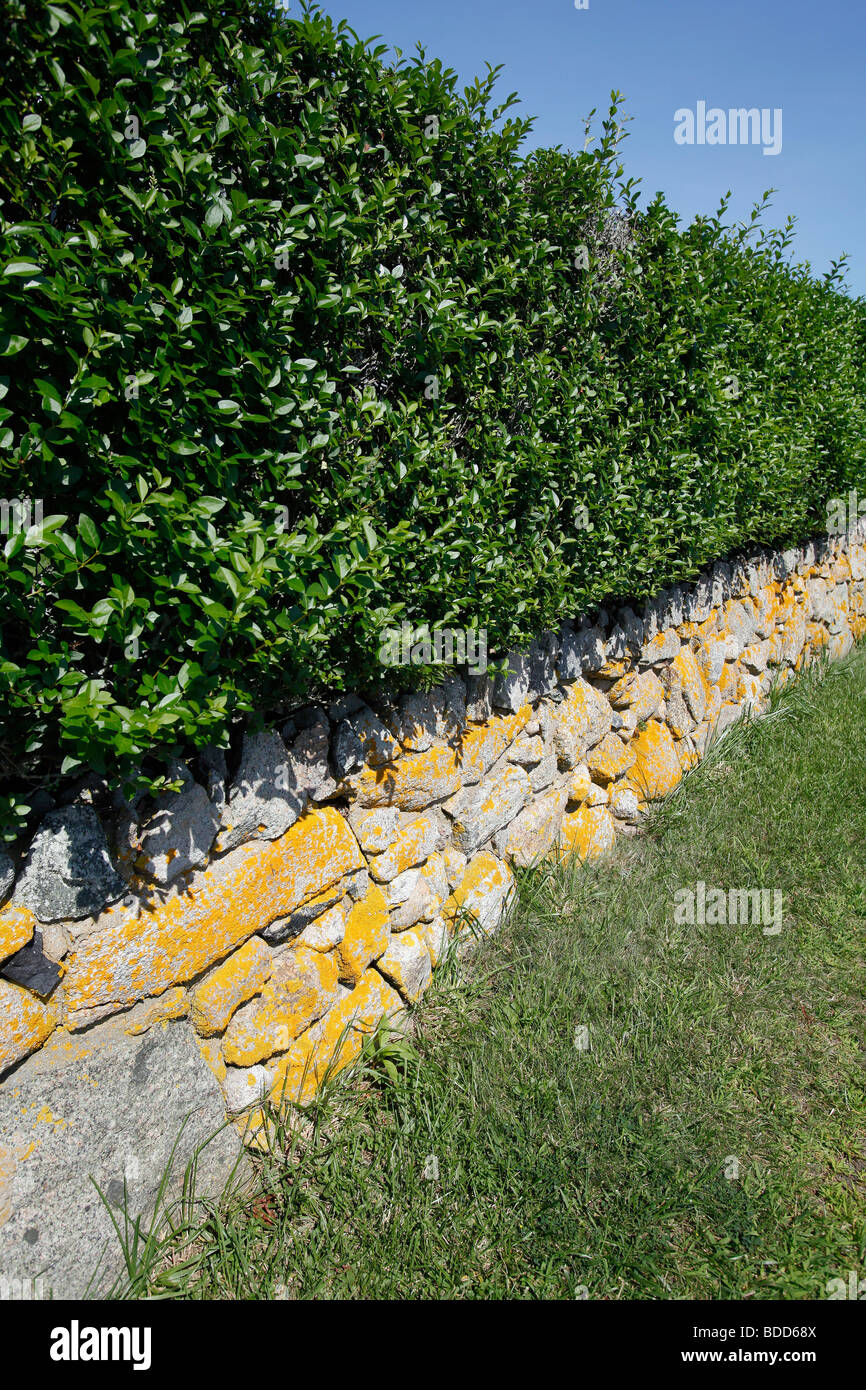 Hedge and lichen covered stone wall, Hyannis, Cape Cod, Massachsuetts - Stock Image