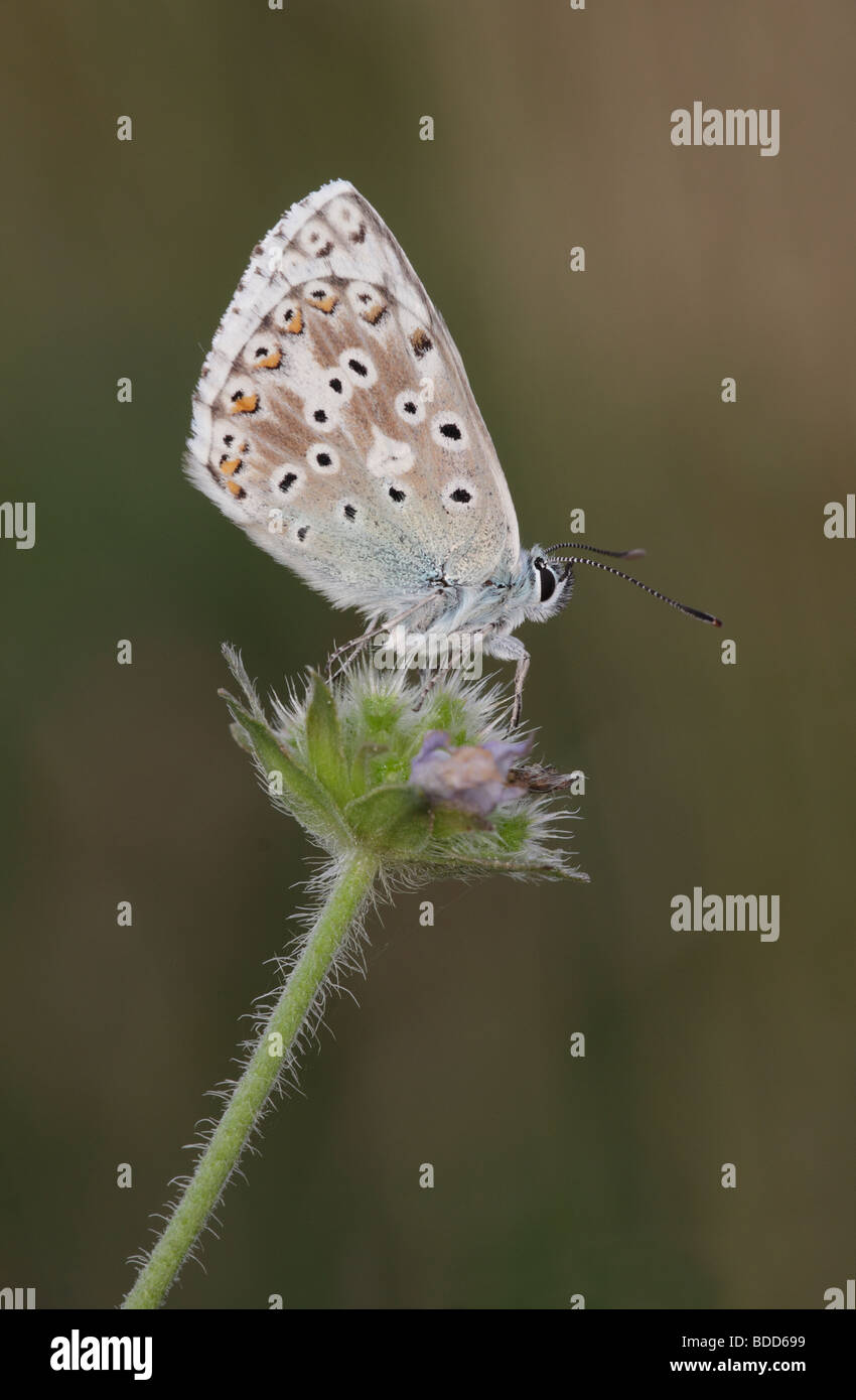 Male Chalkhill Blue Butterfly, Lysandra coridon, Hampshire, England, UK - Stock Image