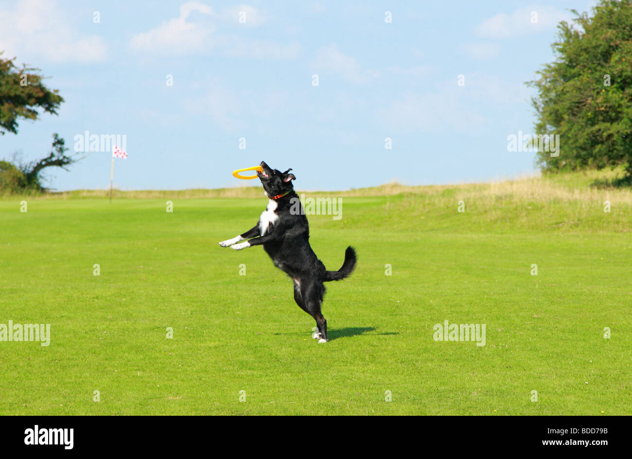 Leaping dog catching a Frisbee - Stock Image