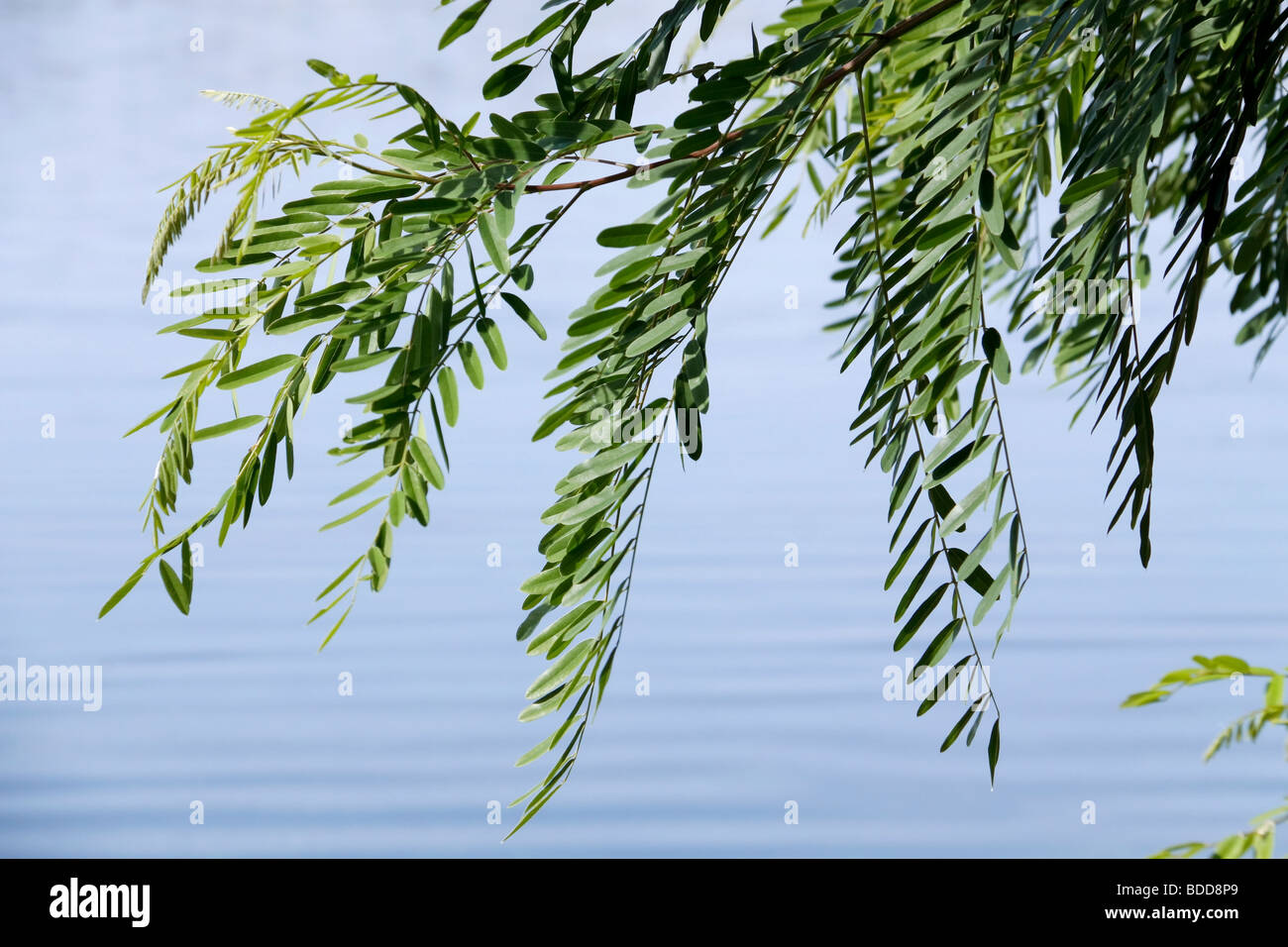 leaves of a white acacia are slightly trembled over river water Stock Photo