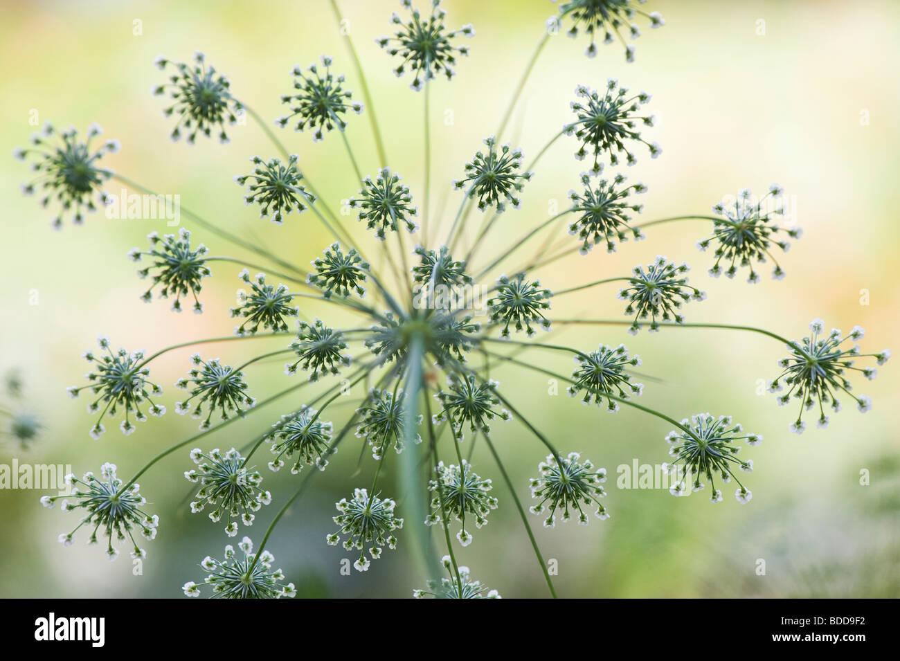 Ammi majus. Bullwort / Bishops weed flowering pattern - Stock Image