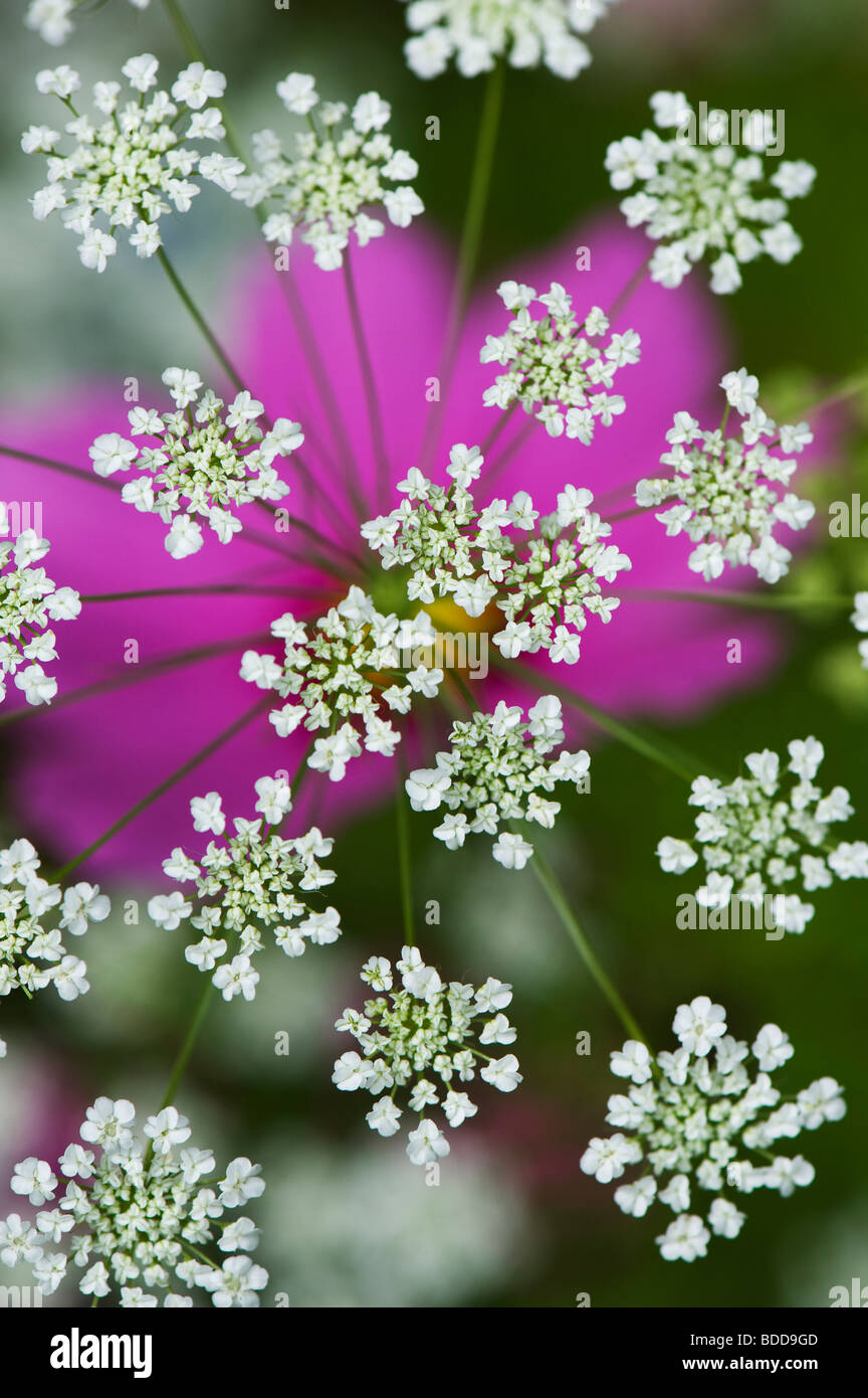 Ammi majus. Bullwart / Bishops weed flowering in front of cosmos flower - Stock Image