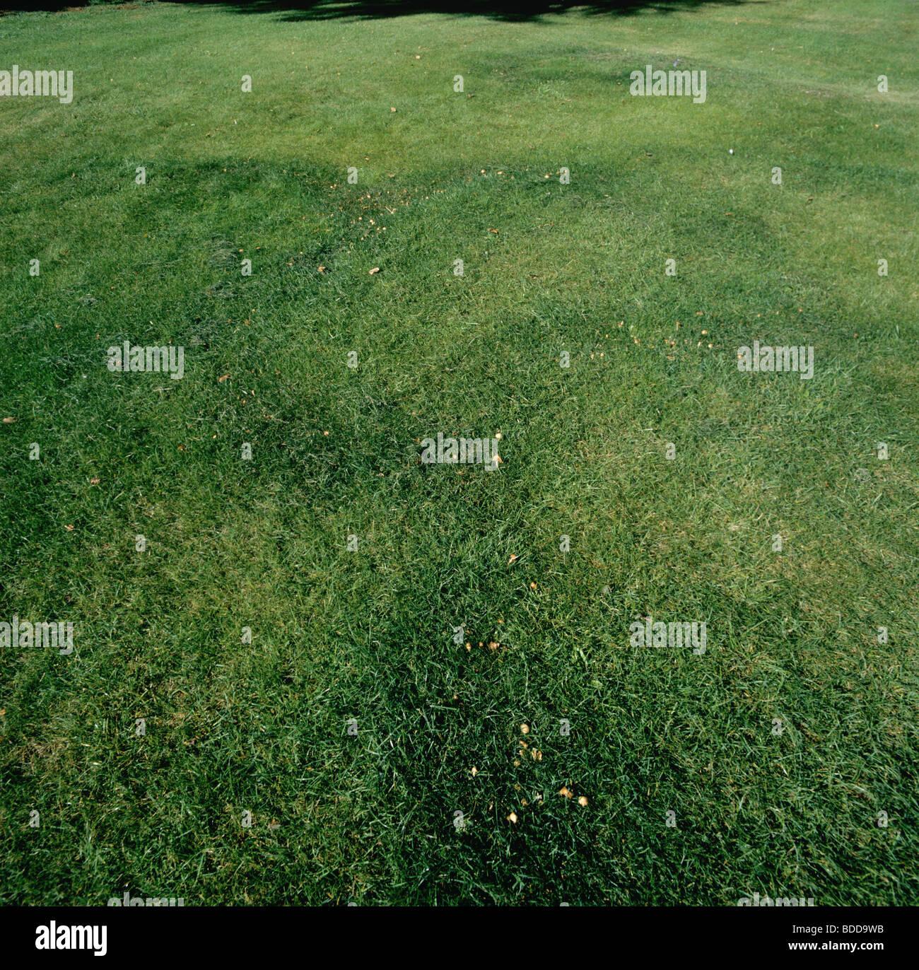 Fairy rings (Marasmius oreades) in lawn at Reading University - Stock Image