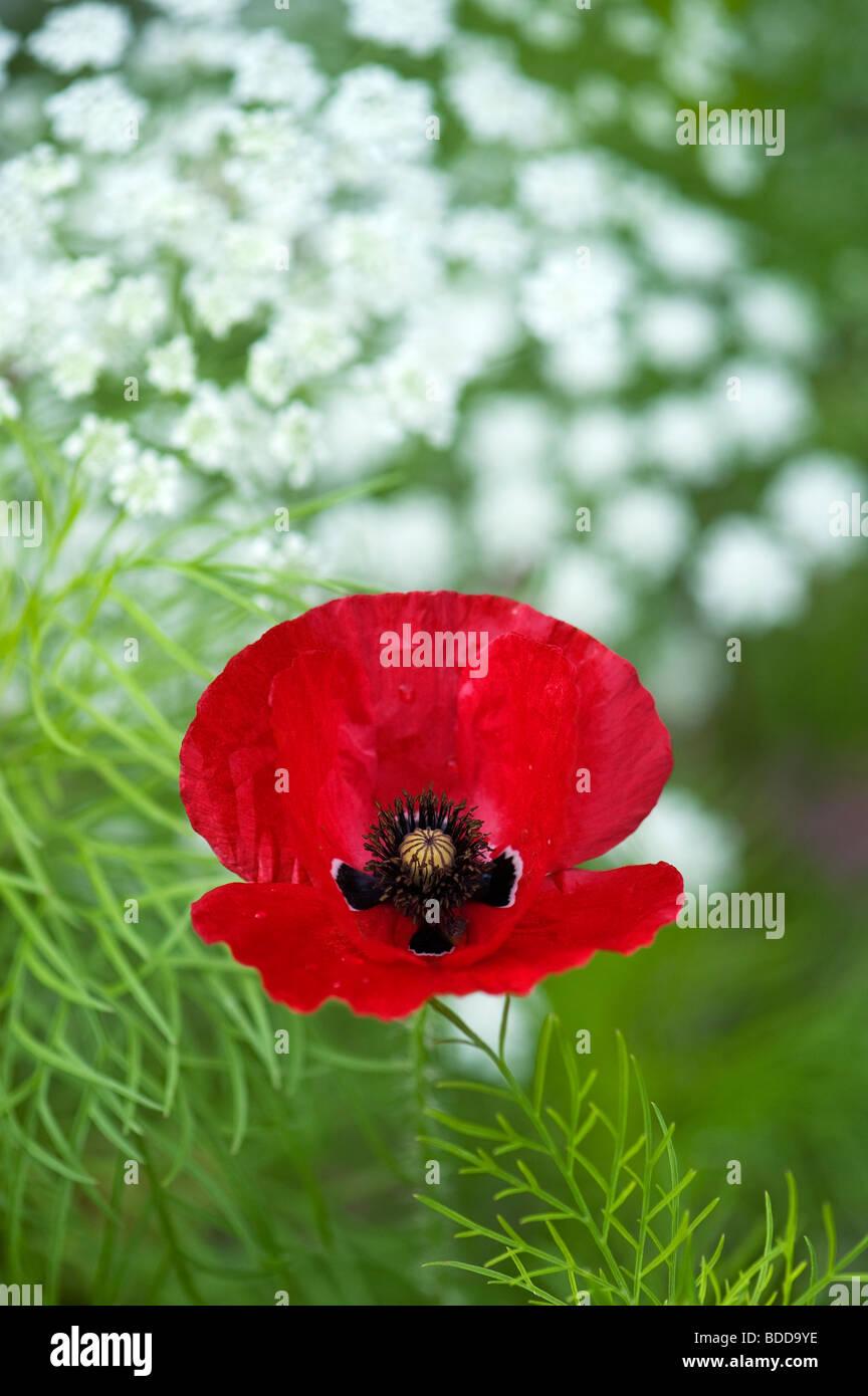 Papaver rhoeas poppy in Ammi majus, Bishops weed Stock Photo