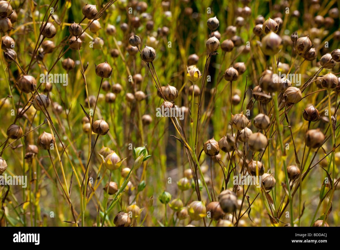 Flax, Linum Usitatissimum - Stock Image