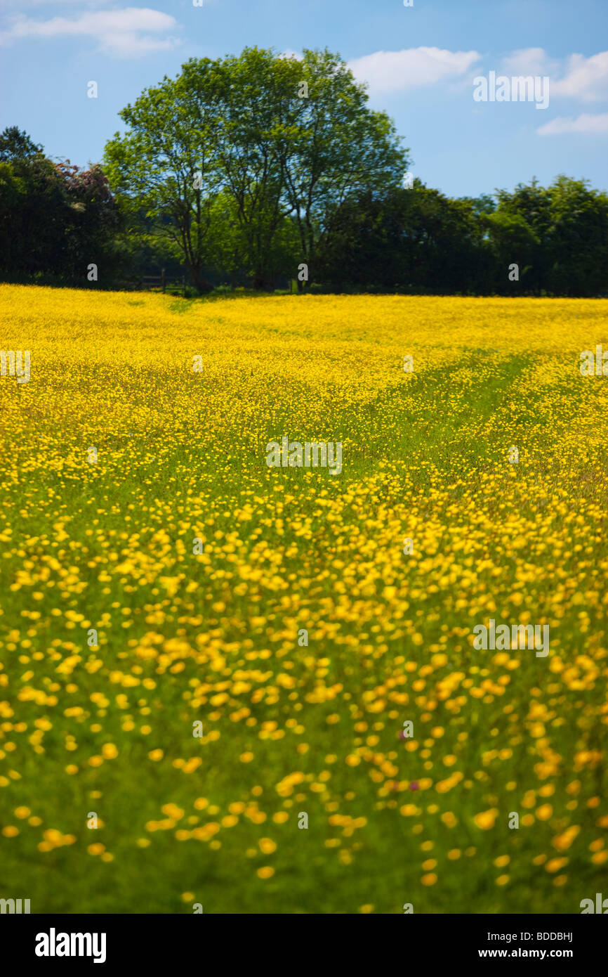 Field of Yellow Daisies Ludlow Shropshire England - Stock Image