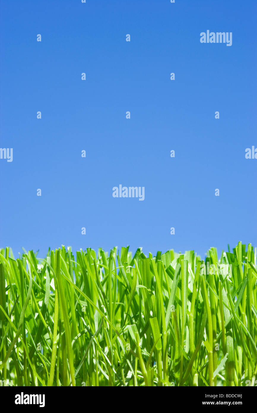 Cut grass, low angle against plain blue sky Stock Photo