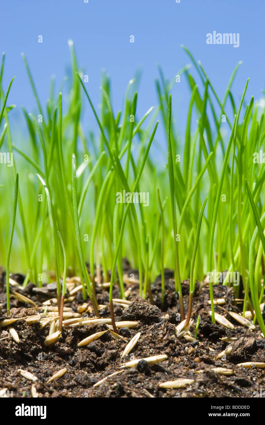 Grass seed germinating to make lawn. - Stock Image