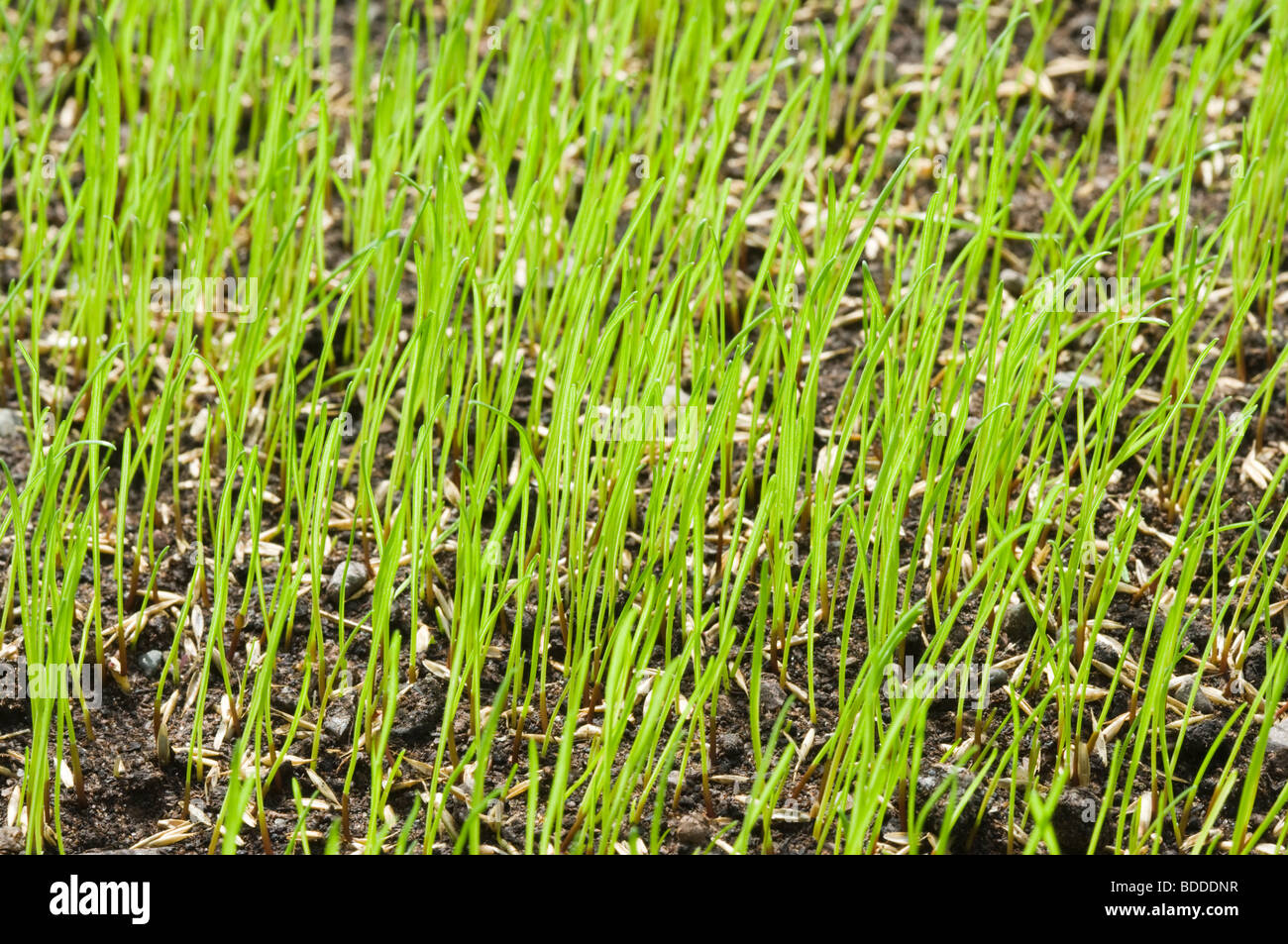 Grass seed germinating for lawn. - Stock Image