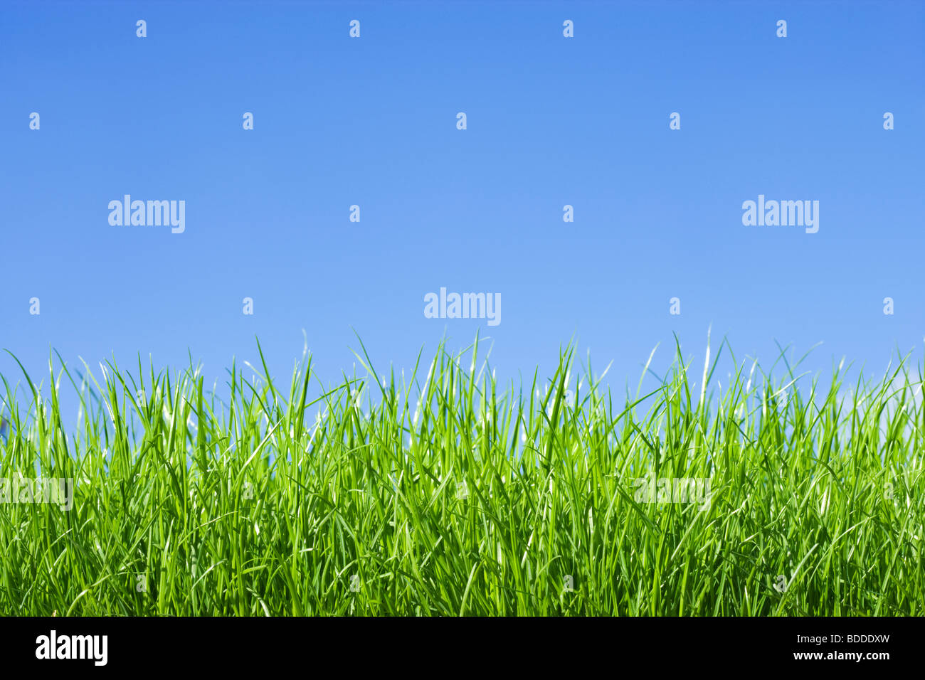 Grass, low angle against blue sky - Stock Image