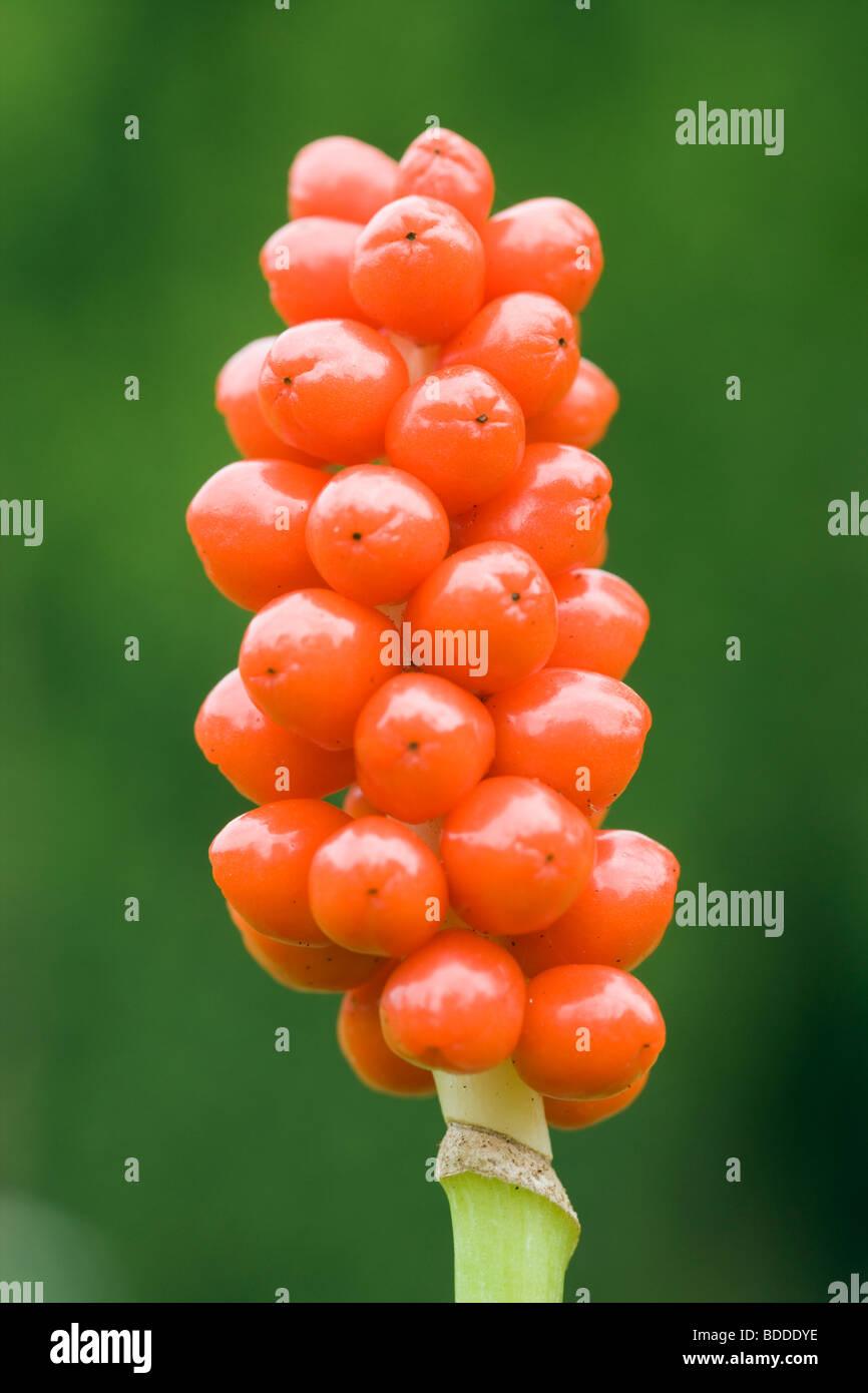 Lords-and-Ladies (Cuckoo Pint), Arum maculatum. Berries. UK. - Stock Image