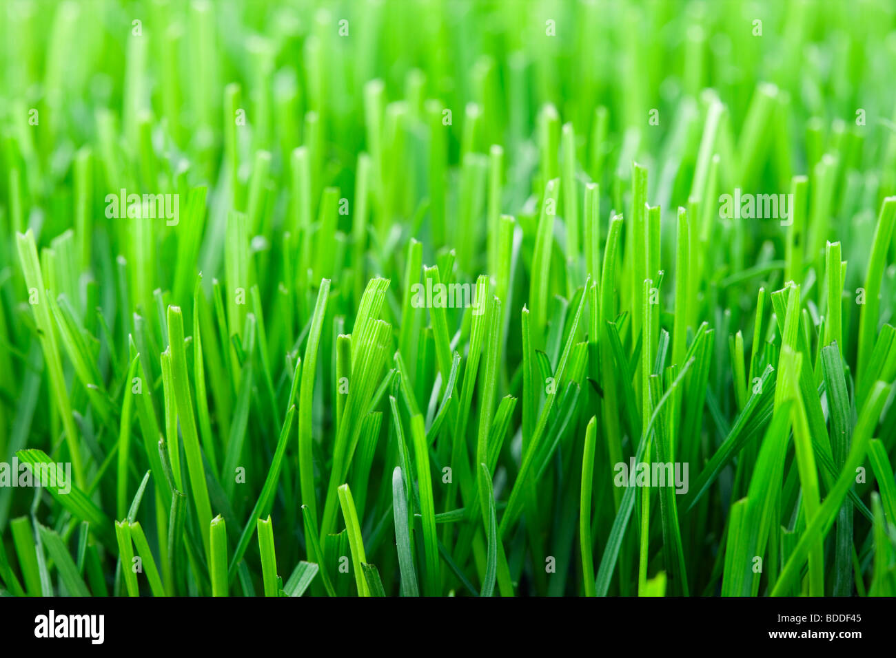 Lawn grass - Stock Image