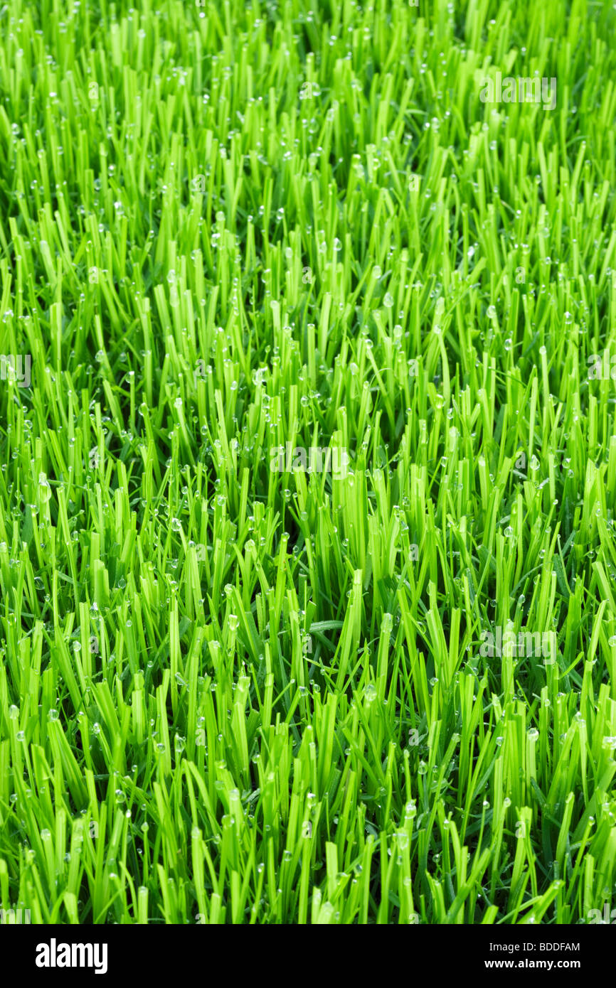 Lawn grass with water droplets Stock Photo