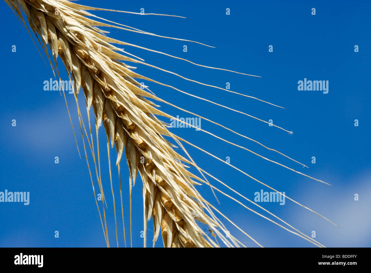 Close-up of Rye. - Stock Image