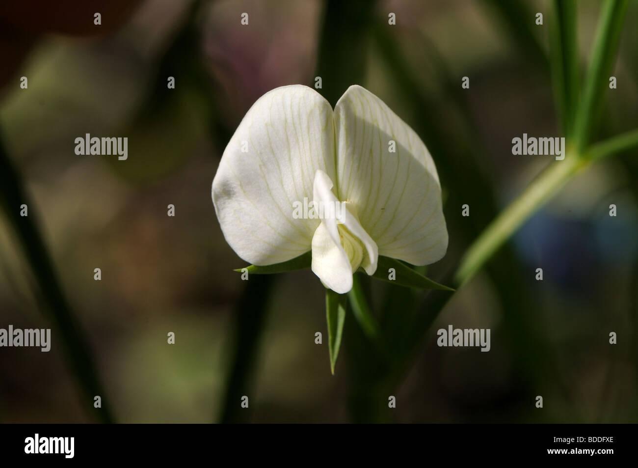 White Chickling pea flower (Lathyrus sativus var albus) - Stock Image