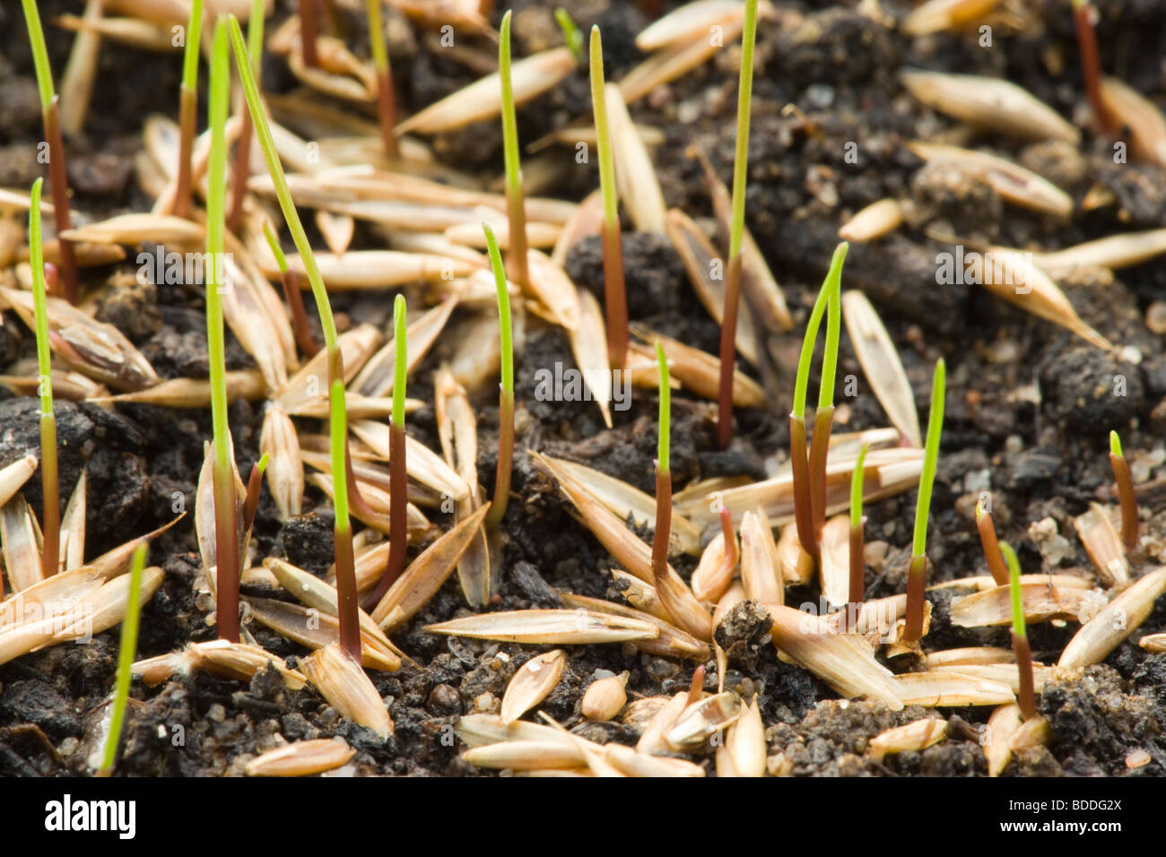 Grass seed germinating - Stock Image