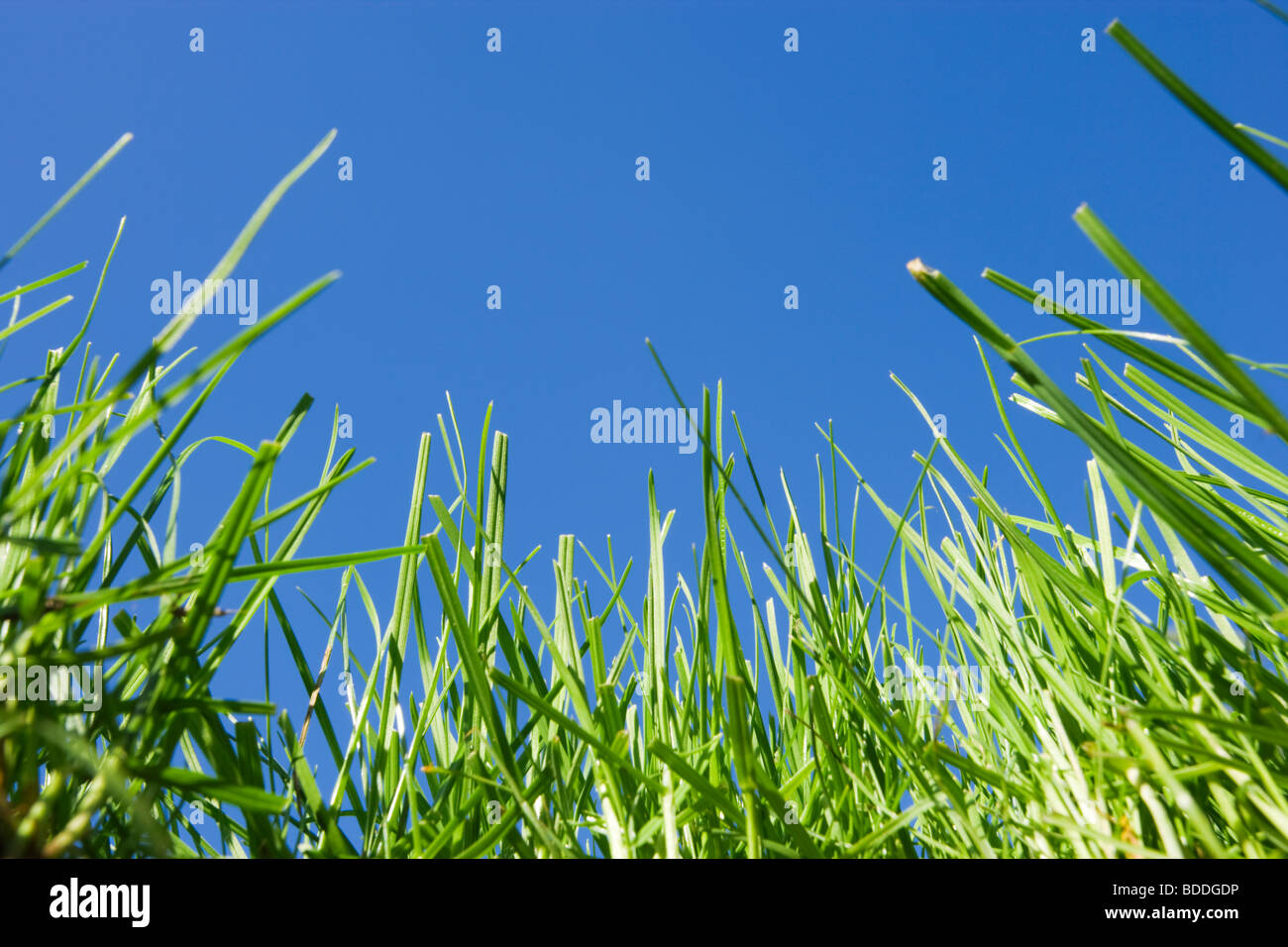 Grass. Lawn viewed from ground level. - Stock Image