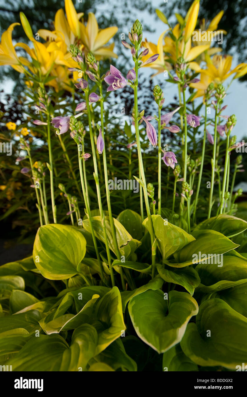 Blooming Hosta Flowers In Front Of Asiatic Lilys Stock Photo