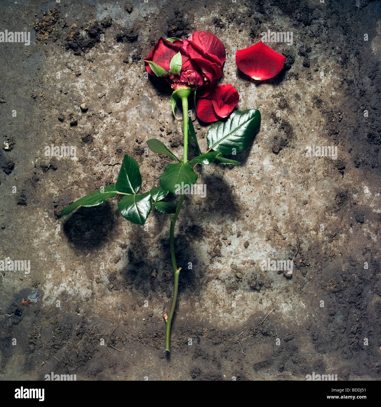 Red rose discarded - Stock Image