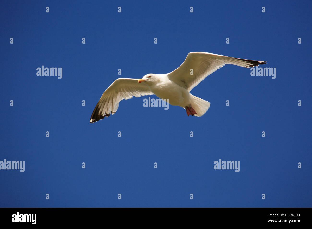 2517. Herring Gull, Cornwall - Stock Image
