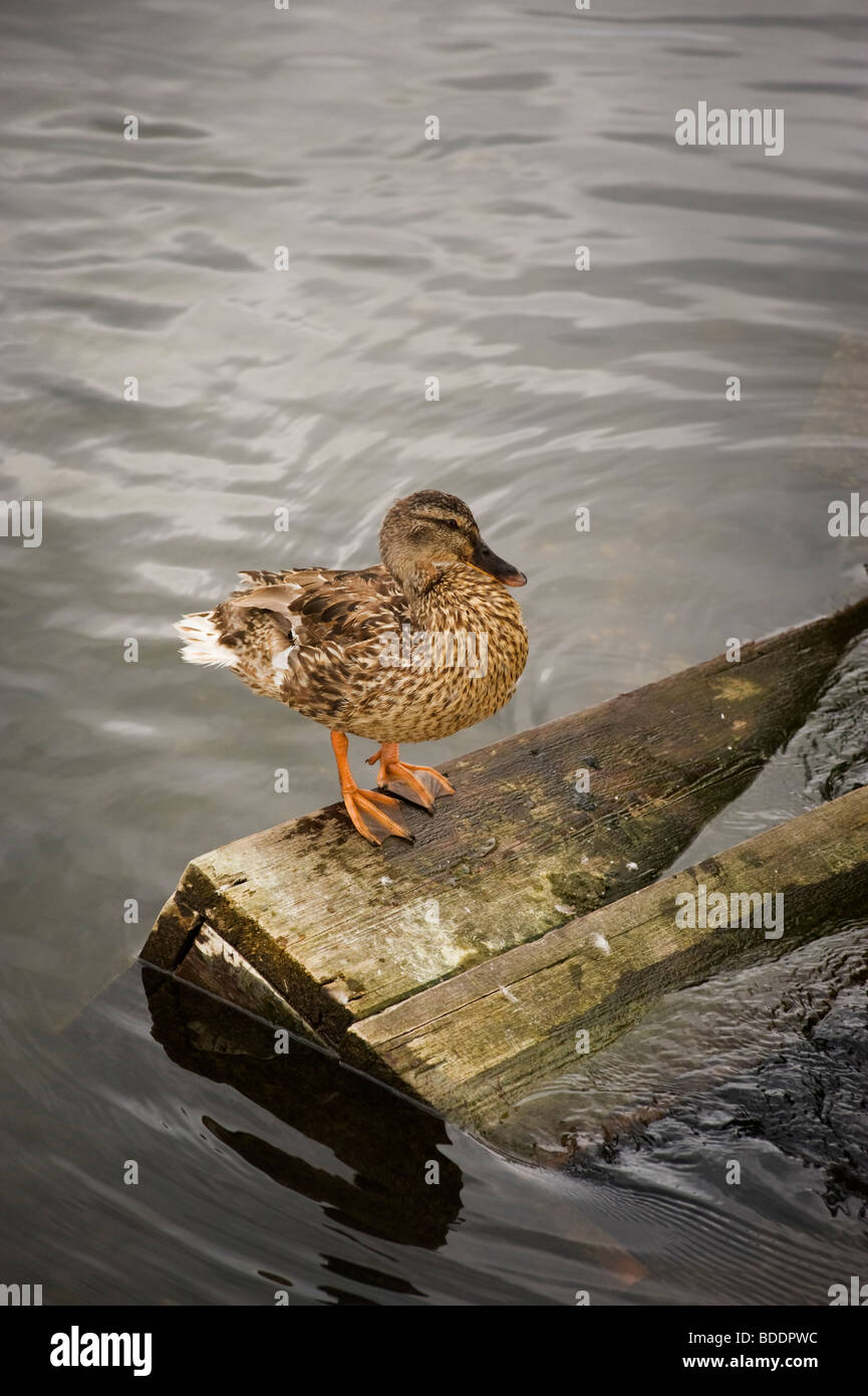 Female Mallard duck perched on wood on the river Thames at Hambleden weir, Buckinghamshire - Stock Image